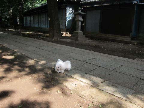 ビションフリーゼこいぬ子犬フントヒュッテ東京かわいいビションフリーゼ関東ビション文京区ビションフリーゼ画像ビションフリーゼおんなのこ姉妹メス子犬_382.jpg
