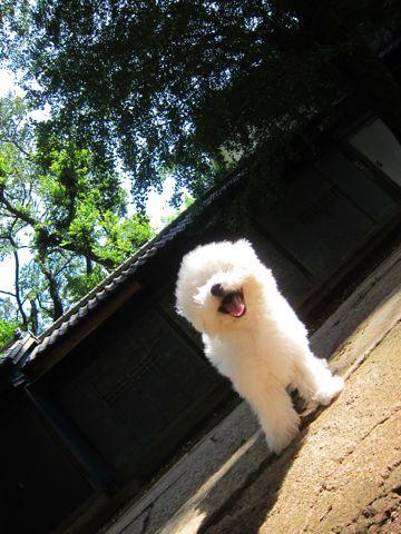 ビションフリーゼこいぬ子犬フントヒュッテ東京かわいいビションフリーゼ関東ビション文京区ビションフリーゼ画像ビションフリーゼおんなのこ姉妹メス子犬_383.jpg