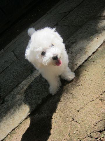ビションフリーゼこいぬ子犬フントヒュッテ東京かわいいビションフリーゼ関東ビション文京区ビションフリーゼ画像ビションフリーゼおんなのこ姉妹メス子犬_384.jpg
