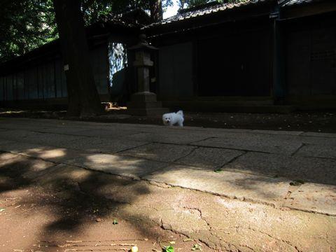 ビションフリーゼこいぬ子犬フントヒュッテ東京かわいいビションフリーゼ関東ビション文京区ビションフリーゼ画像ビションフリーゼおんなのこ姉妹メス子犬_385.jpg