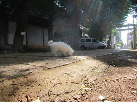 ビションフリーゼこいぬ子犬フントヒュッテ東京かわいいビションフリーゼ関東ビション文京区ビションフリーゼ画像ビションフリーゼおんなのこ姉妹メス子犬_386.jpg
