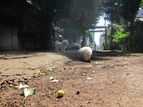 ビションフリーゼこいぬ子犬フントヒュッテ東京かわいいビションフリーゼ関東ビション文京区ビションフリーゼ画像ビションフリーゼおんなのこ姉妹メス子犬_387.jpg