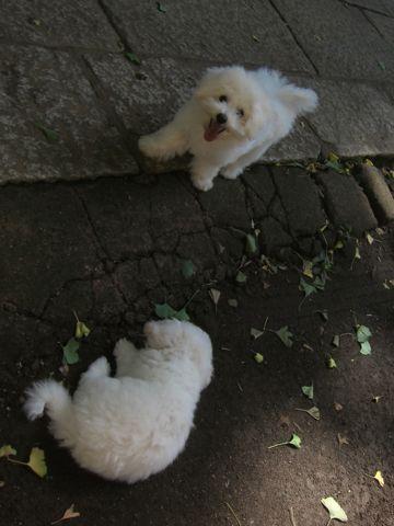ビションフリーゼこいぬ子犬フントヒュッテ東京かわいいビションフリーゼ関東ビション文京区ビションフリーゼ画像ビションフリーゼおんなのこ姉妹メス子犬_388.jpg