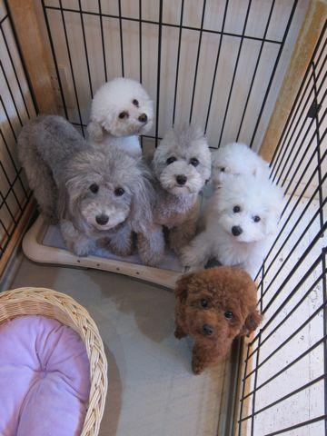 ビションフリーゼこいぬ子犬フントヒュッテ東京かわいいビションフリーゼ関東ビション文京区ビションフリーゼ画像ビションフリーゼおんなのこ姉妹メス子犬_392.jpg