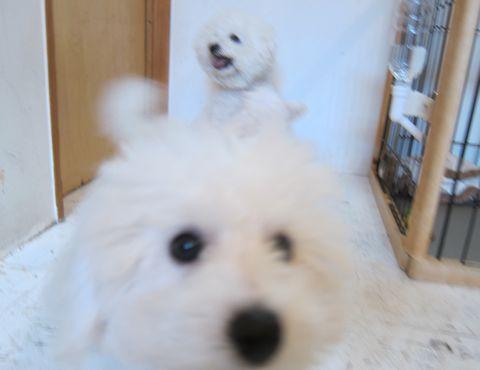 ビションフリーゼこいぬ子犬フントヒュッテ東京かわいいビションフリーゼ関東ビション文京区ビションフリーゼ画像ビションフリーゼおんなのこ姉妹メス子犬_400.jpg