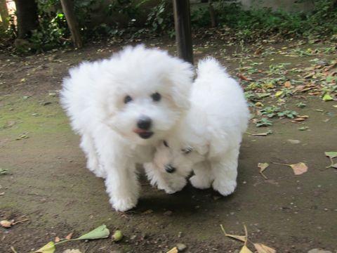 ビションフリーゼこいぬ子犬フントヒュッテ東京かわいいビションフリーゼ関東ビション文京区ビションフリーゼ画像ビションフリーゼおんなのこ姉妹メス子犬_404.jpg