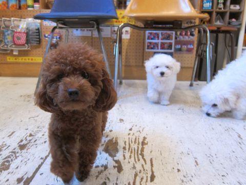 ビションフリーゼこいぬ子犬フントヒュッテ東京かわいいビションフリーゼ関東ビション文京区ビションフリーゼ画像ビションフリーゼおんなのこ姉妹メス子犬_405.jpg