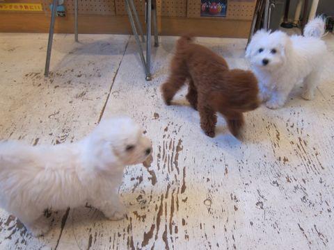 ビションフリーゼこいぬ子犬フントヒュッテ東京かわいいビションフリーゼ関東ビション文京区ビションフリーゼ画像ビションフリーゼおんなのこ姉妹メス子犬_406.jpg