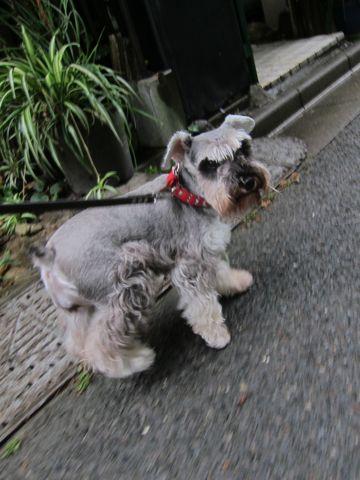 ペットホテル様子関東おさんぽ犬おあずかり都内フントヒュッテ東京ミニチュアシュナウザートリミング画像トイプードルテディベアカット駒込hundehutte2.jpg