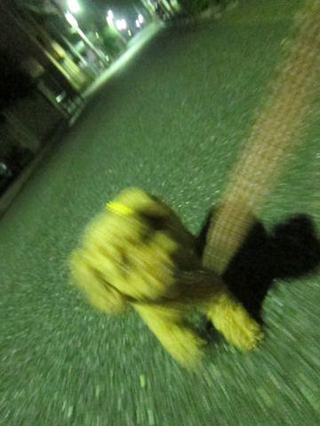 ペットホテル様子関東おさんぽ犬おあずかり都内フントヒュッテ東京ミニチュアシュナウザートリミング画像トイプードルテディベアカット駒込hundehutte12.jpg