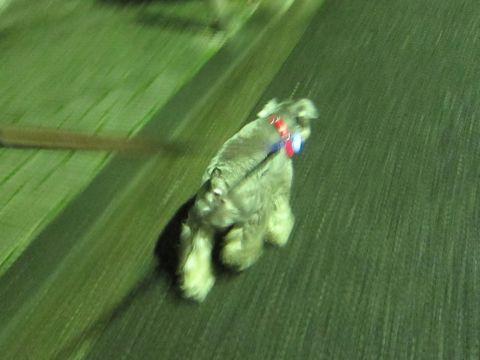 ペットホテル様子関東おさんぽ犬おあずかり都内フントヒュッテ東京ミニチュアシュナウザートリミング画像トイプードルテディベアカット駒込hundehutte14.jpg