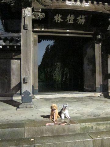 ペットホテル様子関東おさんぽ犬おあずかり都内フントヒュッテ東京ミニチュアシュナウザートリミング画像トイプードルテディベアカット駒込hundehutte15.jpg