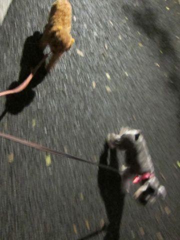 ペットホテル様子関東おさんぽ犬おあずかり都内フントヒュッテ東京ミニチュアシュナウザートリミング画像トイプードルテディベアカット駒込hundehutte21.jpg
