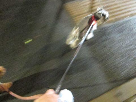 ペットホテル様子関東おさんぽ犬おあずかり都内フントヒュッテ東京ミニチュアシュナウザートリミング画像トイプードルテディベアカット駒込hundehutte22.jpg