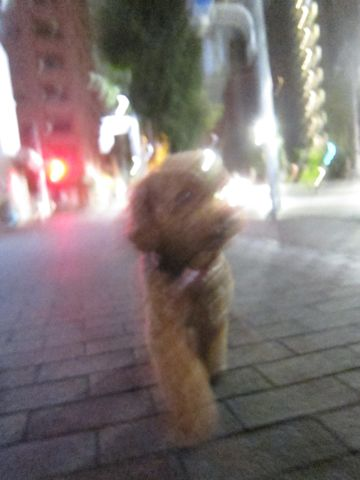 ペットホテル様子関東おさんぽ犬おあずかり都内フントヒュッテ東京ミニチュアシュナウザートリミング画像トイプードルテディベアカット駒込hundehutte27.jpg