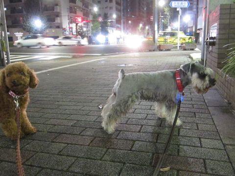 ペットホテル様子関東おさんぽ犬おあずかり都内フントヒュッテ東京ミニチュアシュナウザートリミング画像トイプードルテディベアカット駒込hundehutte32.jpg