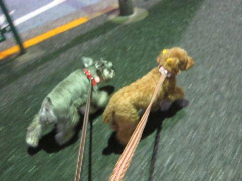 ペットホテル様子関東おさんぽ犬おあずかり都内フントヒュッテ東京ミニチュアシュナウザートリミング画像トイプードルテディベアカット駒込hundehutte35.jpg