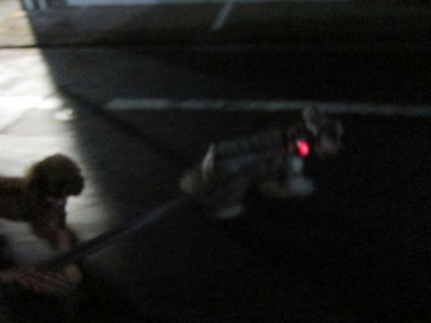 ペットホテル様子関東おさんぽ犬おあずかり都内フントヒュッテ東京ミニチュアシュナウザートリミング画像トイプードルテディベアカット駒込hundehutte36.jpg