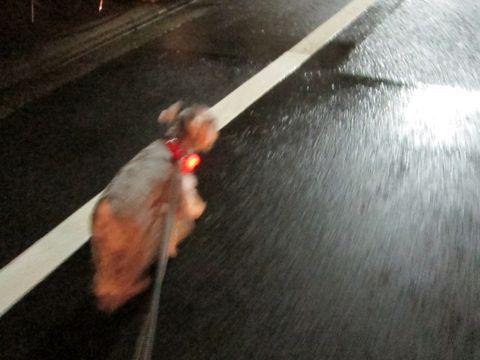 ペットホテル様子関東おさんぽ犬おあずかり都内フントヒュッテ東京ミニチュアシュナウザートリミング画像トイプードルテディベアカット駒込hundehutte37.jpg