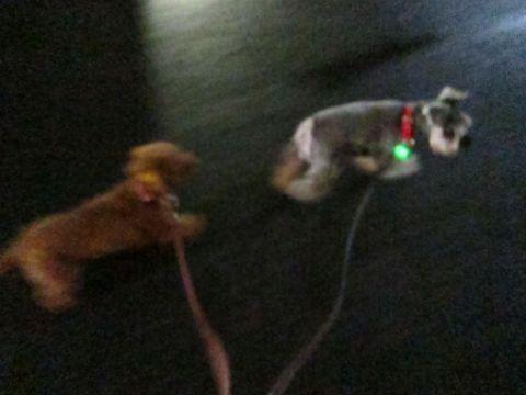 ペットホテル様子関東おさんぽ犬おあずかり都内フントヒュッテ東京ミニチュアシュナウザートリミング画像トイプードルテディベアカット駒込hundehutte40.jpg