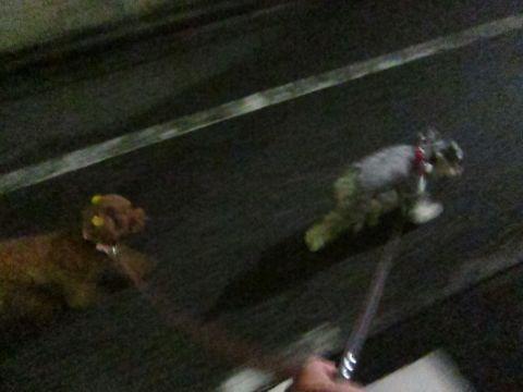 ペットホテル様子関東おさんぽ犬おあずかり都内フントヒュッテ東京ミニチュアシュナウザートリミング画像トイプードルテディベアカット駒込hundehutte48.jpg