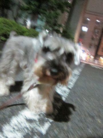ペットホテル様子関東おさんぽ犬おあずかり都内フントヒュッテ東京ミニチュアシュナウザートリミング画像トイプードルテディベアカット駒込hundehutte54.jpg