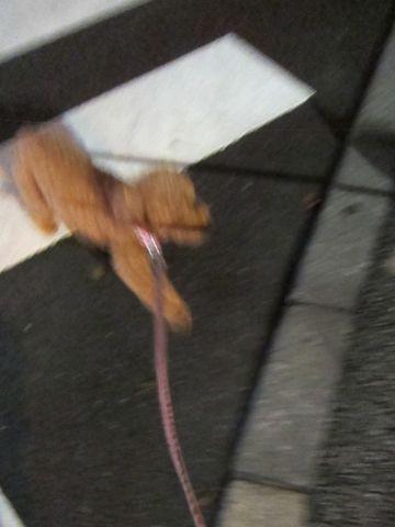 ペットホテル様子関東おさんぽ犬おあずかり都内フントヒュッテ東京ミニチュアシュナウザートリミング画像トイプードルテディベアカット駒込hundehutte57.jpg