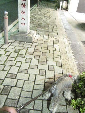 ペットホテル様子関東おさんぽ犬おあずかり都内フントヒュッテ東京ミニチュアシュナウザートリミング画像トイプードルテディベアカット駒込hundehutte59.jpg