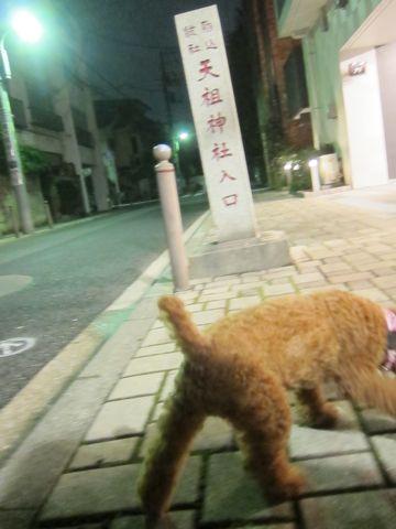 ペットホテル様子関東おさんぽ犬おあずかり都内フントヒュッテ東京ミニチュアシュナウザートリミング画像トイプードルテディベアカット駒込hundehutte60.jpg