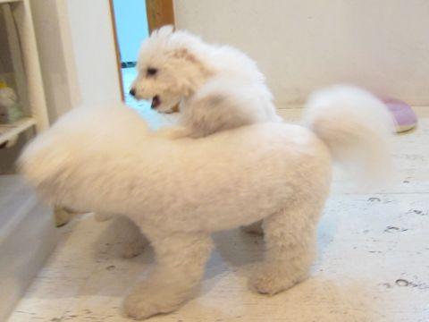 ビションフリーゼこいぬ子犬フントヒュッテ東京かわいいビションフリーゼ関東ビション文京区ビションフリーゼ画像ビションフリーゼおんなのこ姉妹メス子犬_422.jpg