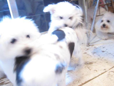 ビションフリーゼこいぬ子犬フントヒュッテ東京かわいいビションフリーゼ関東ビション文京区ビションフリーゼ画像ビションフリーゼ子犬東京ビション毛量 115.jpg