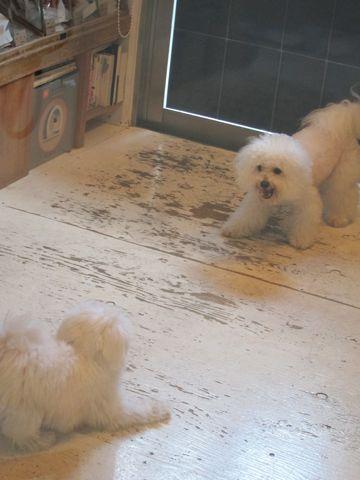 ビションフリーゼこいぬ子犬フントヒュッテ東京かわいいビションフリーゼ関東ビション文京区ビションフリーゼ画像ビションフリーゼおんなのこ姉妹メス子犬_427.jpg