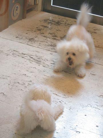 ビションフリーゼこいぬ子犬フントヒュッテ東京かわいいビションフリーゼ関東ビション文京区ビションフリーゼ画像ビションフリーゼおんなのこ姉妹メス子犬_428.jpg