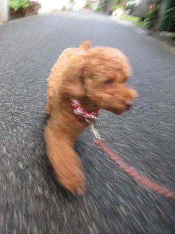 ペットホテル様子関東おさんぽ犬おあずかり都内フントヒュッテ東京ミニチュアシュナウザートリミング画像トイプードルテディベアカット駒込hundehutte63.jpg