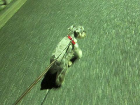 ペットホテル様子関東おさんぽ犬おあずかり都内フントヒュッテ東京ミニチュアシュナウザートリミング画像トイプードルテディベアカット駒込hundehutte66.jpg