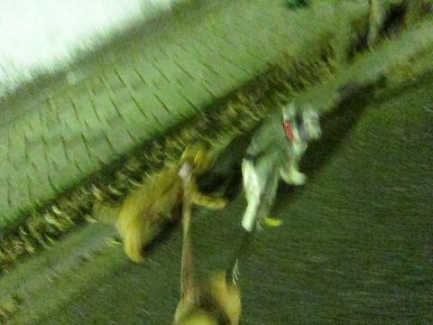 ペットホテル様子関東おさんぽ犬おあずかり都内フントヒュッテ東京ミニチュアシュナウザートリミング画像トイプードルテディベアカット駒込hundehutte67.jpg
