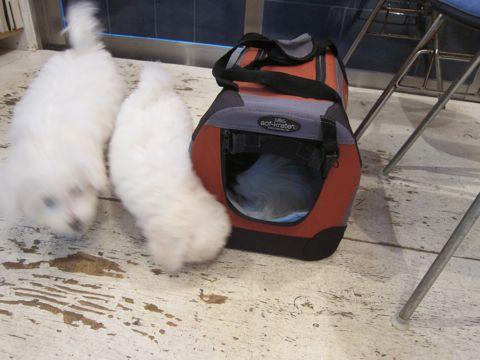 ビションフリーゼこいぬ子犬フントヒュッテ東京かわいいビションフリーゼ関東ビション文京区ビションフリーゼ画像ビションフリーゼおんなのこ姉妹メス子犬_430.jpg