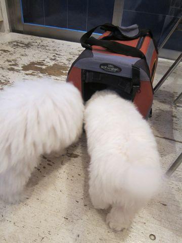 ビションフリーゼこいぬ子犬フントヒュッテ東京かわいいビションフリーゼ関東ビション文京区ビションフリーゼ画像ビションフリーゼおんなのこ姉妹メス子犬_431.jpg