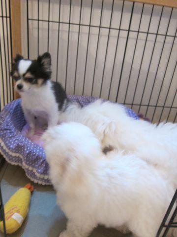 ビションフリーゼこいぬ子犬フントヒュッテ東京かわいいビションフリーゼ関東ビション文京区ビションフリーゼ画像ビションフリーゼおんなのこ姉妹メス子犬_433.jpg