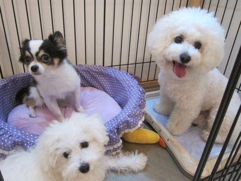 ビションフリーゼこいぬ子犬フントヒュッテ東京かわいいビションフリーゼ関東ビション文京区ビションフリーゼ画像ビションフリーゼおんなのこ姉妹メス子犬_435.jpg