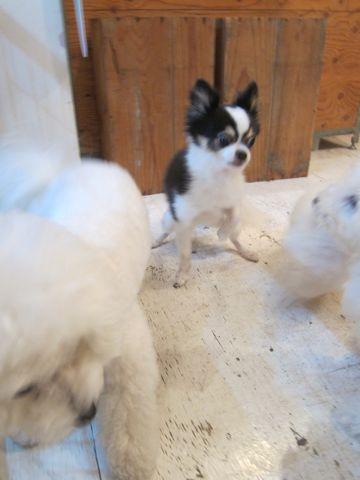 ビションフリーゼこいぬ子犬フントヒュッテ東京かわいいビションフリーゼ関東ビション文京区ビションフリーゼ画像ビションフリーゼおんなのこ姉妹メス子犬_438.jpg