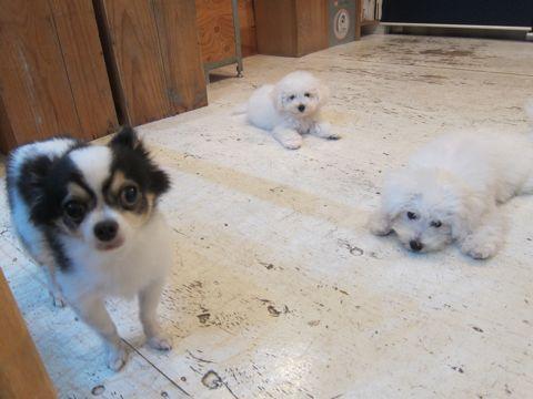 ビションフリーゼこいぬ子犬フントヒュッテ東京かわいいビションフリーゼ関東ビション文京区ビションフリーゼ画像ビションフリーゼおんなのこ姉妹メス子犬_439.jpg