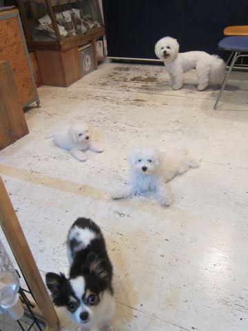 ビションフリーゼこいぬ子犬フントヒュッテ東京かわいいビションフリーゼ関東ビション文京区ビションフリーゼ画像ビションフリーゼおんなのこ姉妹メス子犬_440.jpg