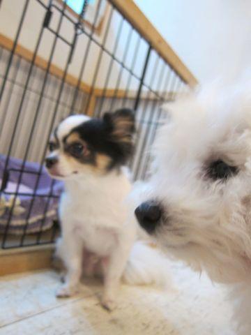 ビションフリーゼこいぬ子犬フントヒュッテ東京かわいいビションフリーゼ関東ビション文京区ビションフリーゼ画像ビションフリーゼおんなのこ姉妹メス子犬_441.jpg