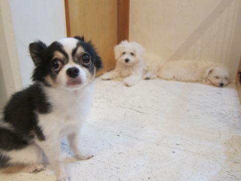 ビションフリーゼこいぬ子犬フントヒュッテ東京かわいいビションフリーゼ関東ビション文京区ビションフリーゼ画像ビションフリーゼおんなのこ姉妹メス子犬_444.jpg
