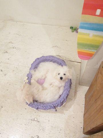 ビションフリーゼこいぬ子犬フントヒュッテ東京かわいいビションフリーゼ関東ビション文京区ビションフリーゼ画像ビションフリーゼおんなのこ姉妹メス子犬_445.jpg