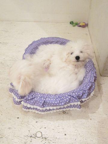 ビションフリーゼこいぬ子犬フントヒュッテ東京かわいいビションフリーゼ関東ビション文京区ビションフリーゼ画像ビションフリーゼおんなのこ姉妹メス子犬_446.jpg