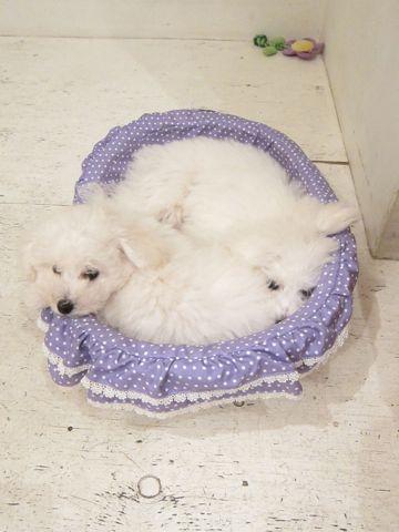 ビションフリーゼこいぬ子犬フントヒュッテ東京かわいいビションフリーゼ関東ビション文京区ビションフリーゼ画像ビションフリーゼおんなのこ姉妹メス子犬_448.jpg