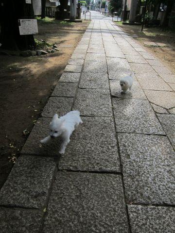 ビションフリーゼこいぬ子犬フントヒュッテ東京かわいいビションフリーゼ関東ビション文京区ビションフリーゼ画像ビションフリーゼおんなのこ姉妹メス子犬_451.jpg