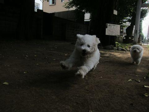 ビションフリーゼこいぬ子犬フントヒュッテ東京かわいいビションフリーゼ関東ビション文京区ビションフリーゼ画像ビションフリーゼおんなのこ姉妹メス子犬_452.jpg